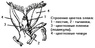 Схема строения злаковых